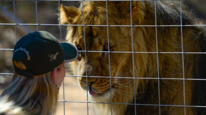 La gabbia dei leoni